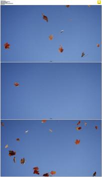 蓝天下枫叶飞舞实拍视频素材