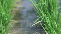航拍稻田水稻苗期撒米视频素材 mpg