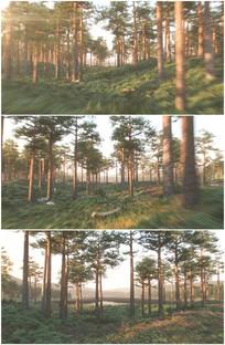 松树林森林里自由飞翔前进视频