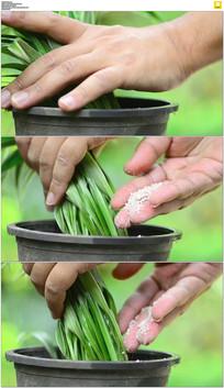 给花草施肥实拍视频素材