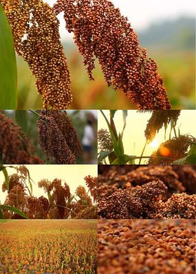 高粱地酿造高粱酒视频素材 mp4