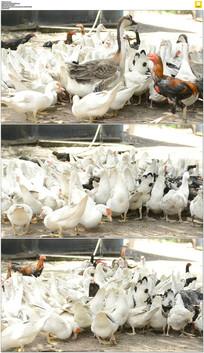 鸡鸭鹅实拍视频素材