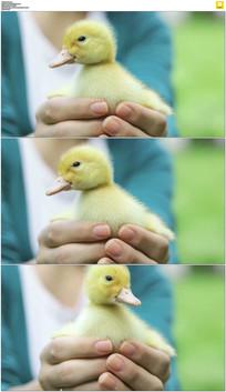 手捧黄毛小鸭子实拍视频素材