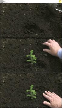 种植针叶树树苗实拍视频素材