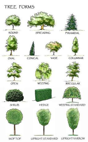 方案意向 植物 油茶植物立面素材  下载收藏 手绘植物立面ps分层素材