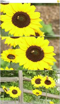 蜜蜂向日葵采花蜜实拍视频素材
