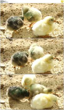 三只可爱的小鸡实拍视频素材