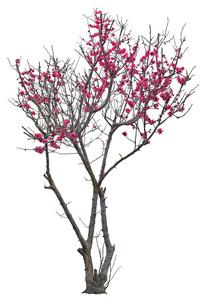 梅花植物ps素材