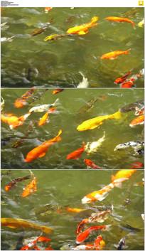 公园锦里鱼实拍视频素材