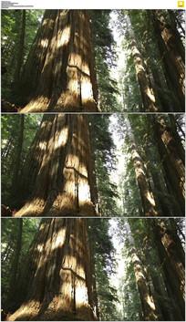 红杉树树杆实拍视频素材