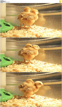 家禽小鸡实拍视频素材