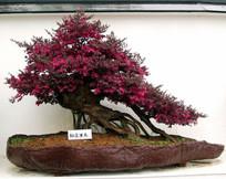 红花继木盆景 JPG