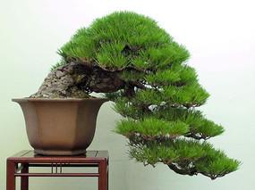 盆景植物悬崖式雀梅图片