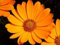 富含多种维生素的金盏花