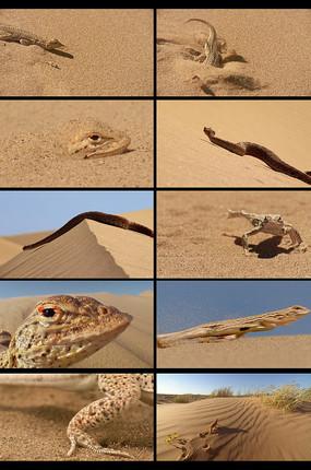 沙漠里的蜥蜴视频