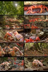 树林里的大红蟹视频