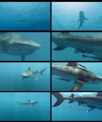 海底生物鲨鱼视频素材