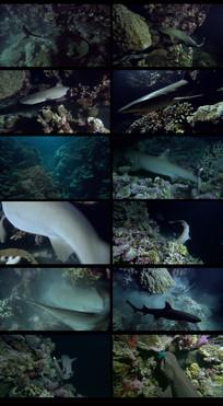 深海鲨鱼捕鱼视频