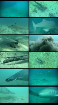 鲨鱼捕食魔鬼鱼视频