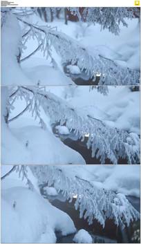 冰雪覆盖杉树实拍视频素材
