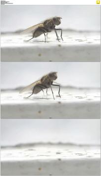 苍蝇特写实拍视频素材 mov
