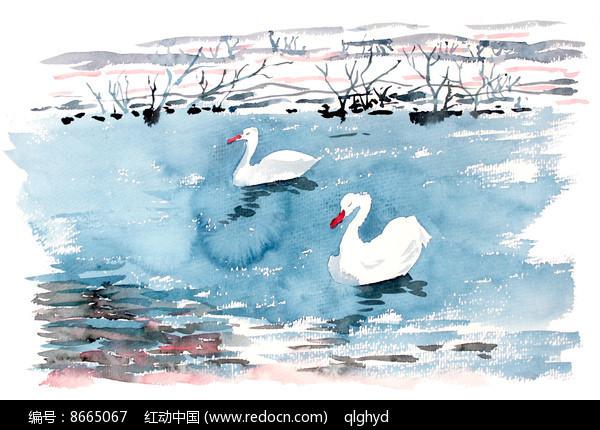 两只天鹅插画图片