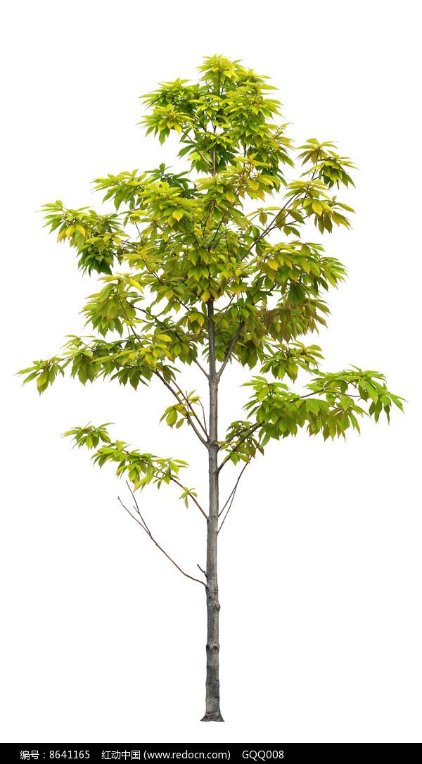 七叶树psd分层素材图片图片