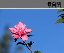 淡紫色木槿花 JPG