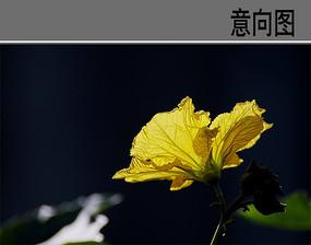 黄色丝瓜花