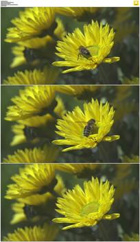 采花的小蜜蜂实拍视频素材