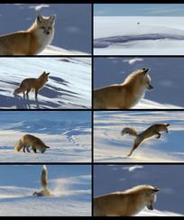 狐狸雪地捕食视频
