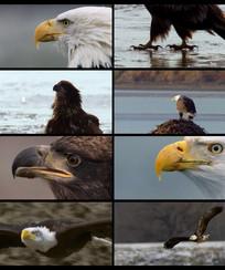 老鹰展翅翱翔视频