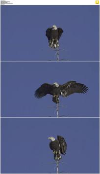 树枝上的老鹰实拍视频素材