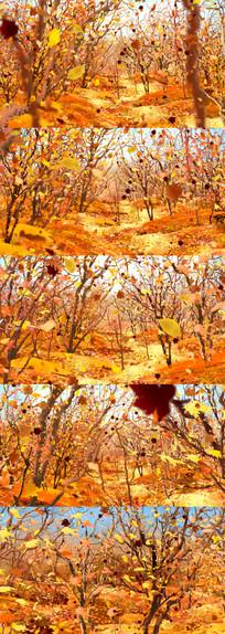 枫树林树叶飘落秋天季节视频