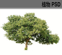 大乔木PSD植物素材