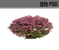 红花继木球PSD素材 PSD