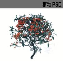 火棘PSD素材