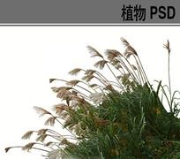 芦苇PS素材 PSD