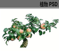 苹果树PSD植物素材 PSD