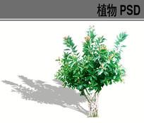 珊瑚树PSD素材