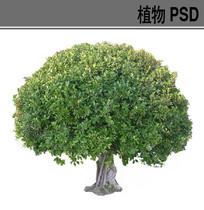 榕树球ps素材 PSD