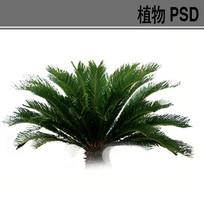 苏铁PS素材 PSD