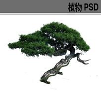 造型松树PSD素材 PSD