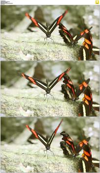蝴蝶煽动翅膀实拍视频素材