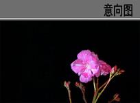 夹竹桃花卉