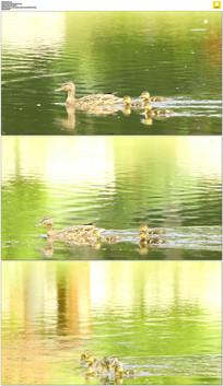 鸭妈妈和小鸭子实拍视频素材