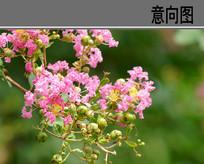 紫薇花 JPG