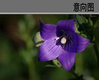 紫桔梗花 JPG