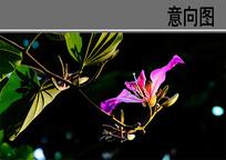 紫荆花 JPG