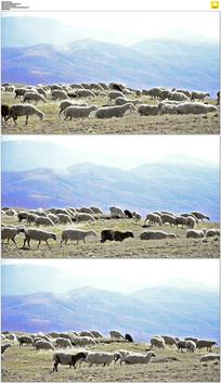 高原放羊实拍视频素材